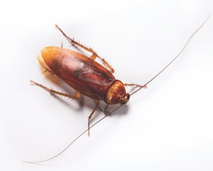 Florida cockroaches